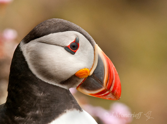 Puffin And Sea Pinks, Shetland
